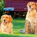 A Group of Golden Retrievers May Extend the Life of Your Dog