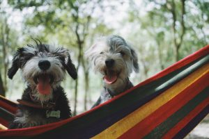 two dogs playing on hammock
