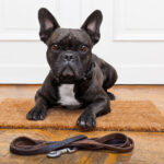 French Bulldog sitting near front door