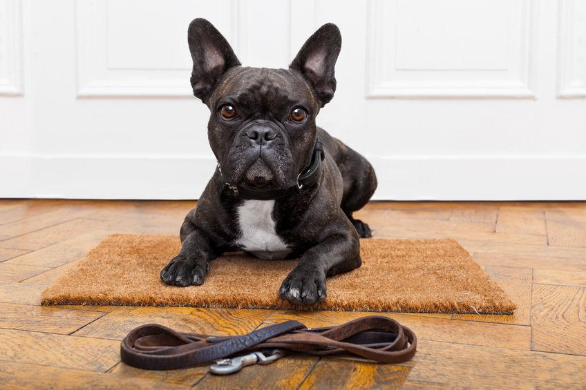 French Bulldog sitting near front door